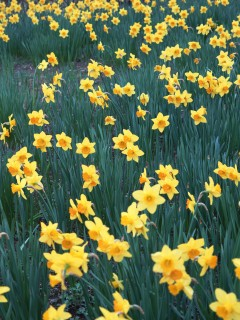 Красивое поле желтых нарцисов украсит вам смартфон