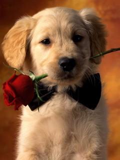 Милый щеночек держит красную розы и очень хочет подарить ее вам